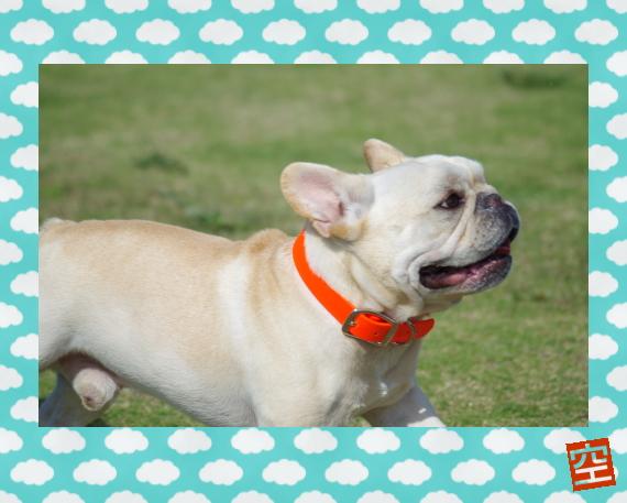 空1|パーフェクトカラー(犬の首輪)|犬グッズ通販HAU