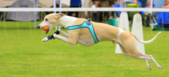 動きやすくて擦れないスポーツやアジリティーに最適なハーネス|Sporza Tre Ponti トレ・ポンティ|犬グッズ通販HAU